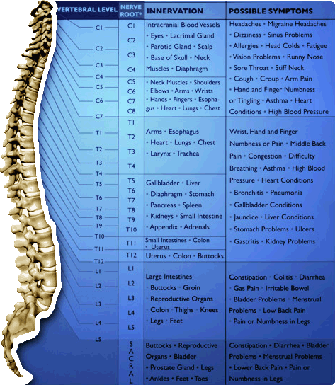 spinal-nerve-chart
